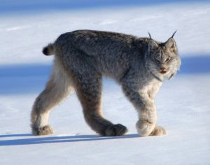 Canadian Lynx in the snow