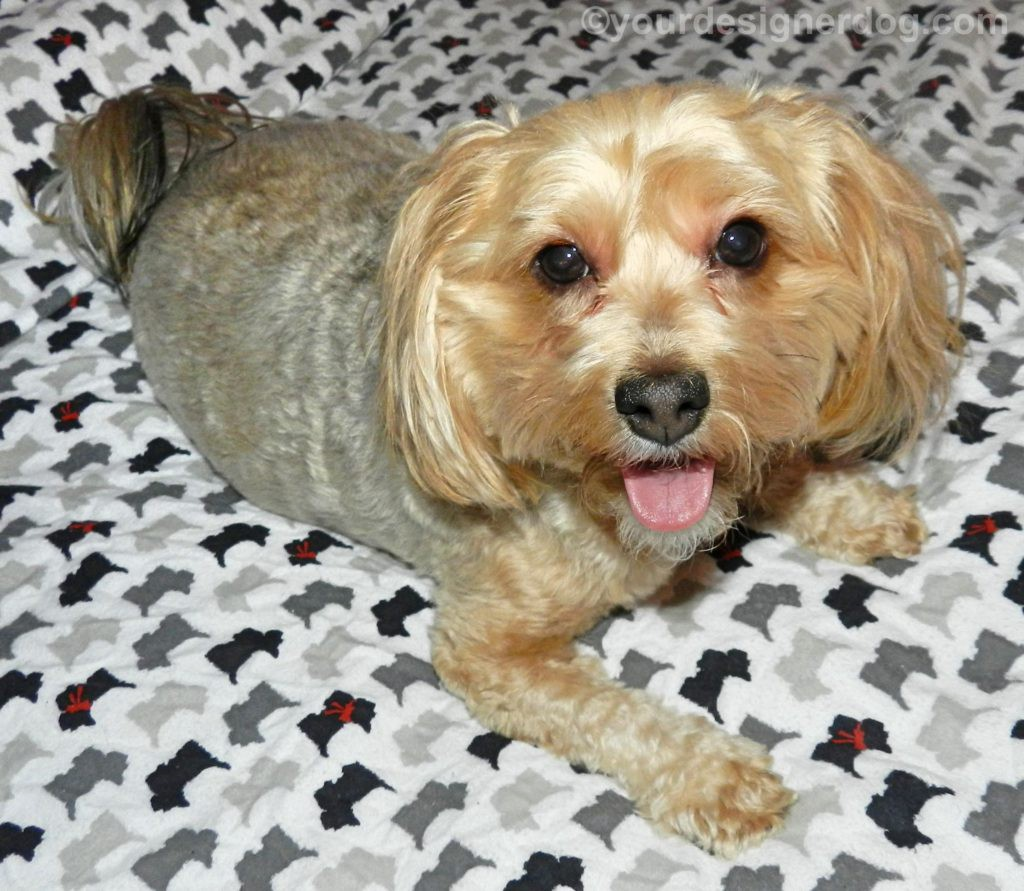 dogs, designer dogs, Yorkipoo, yorkie poo, tongue out, scottie sheets, dog smiling