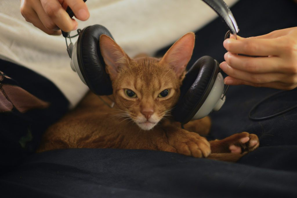 Abyssinian Johnny putting on a geadphone