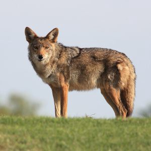 Coyote, keeper of the south