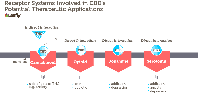 Figure 2 – Receptor Systems Involved in CBD's Potential Therapeutic Applications CBD interacts, either directly or indirectly, with many different receptor systems in the brain. It indirectly influences the major cannabinoid receptor in the brain by decreasing THC's ability to stimulate this receptor. It also interacts with a variety of other receptors. A subset of these are shown here. Each red shape represents a different brain receptor that might be found on a neuron. Some of the potential therapeutic applications associated with CBD's interaction with each receptor system are listed below each receptor.