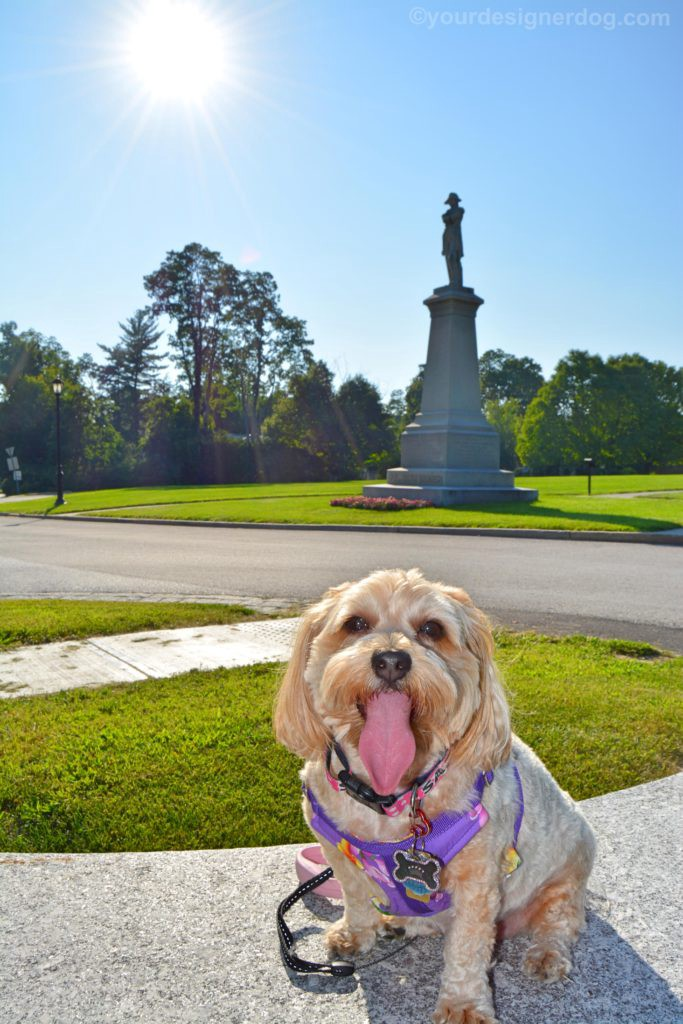 dogs, designer dogs, Yorkipoo, yorkie poo, tongue out, statue, sun