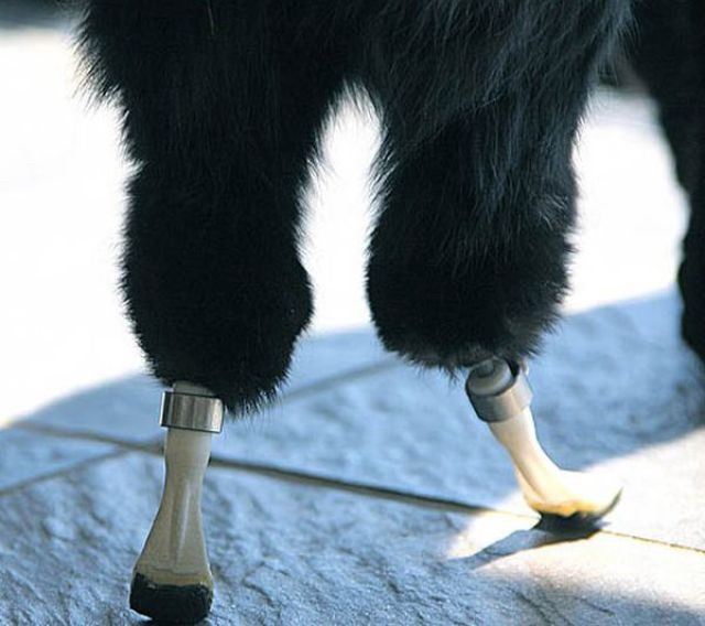 Two prosthetic hind legs of Oscar's