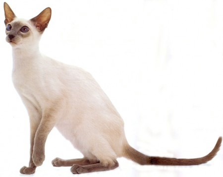 Smoky White Siamese