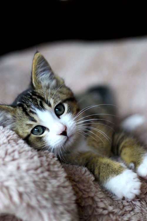 kitten laying on a blanket