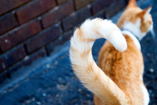 cat tail up