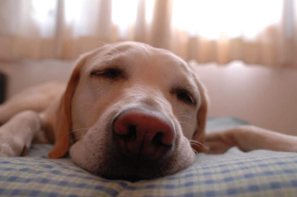 White labrador dog sleep on bed