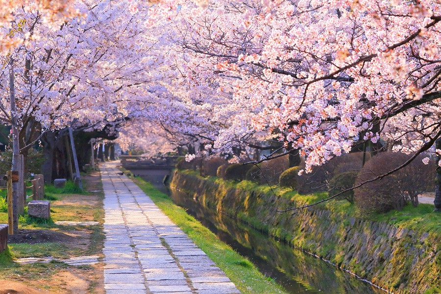 Philosopher's Walk with cherry blossom