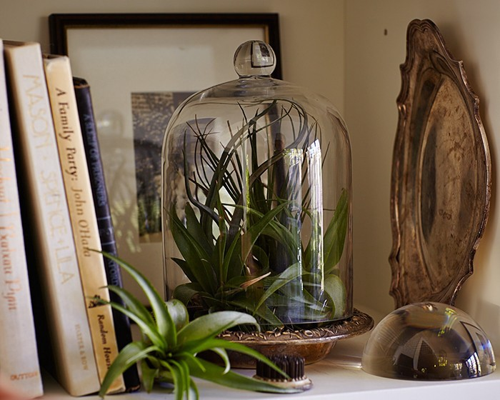 air plants tillandsias in a glass