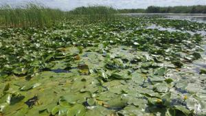 Sea of Water Lily