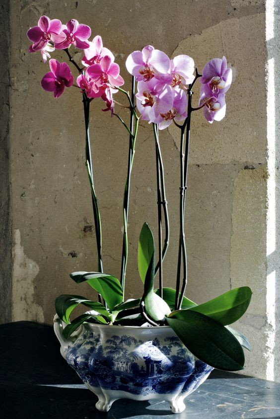 Phalaenopsis or moth orchids in blue and white china po