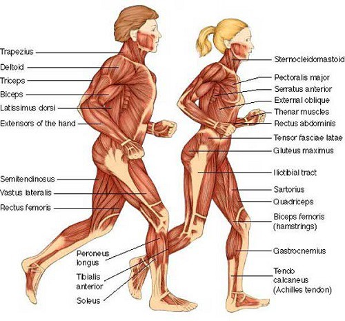 male-and-female-muscle-anatomy