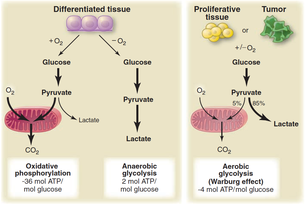 Does Carbohydrate Restriction Fight Cancer? Use the Warburg Effect to Fight Cancer