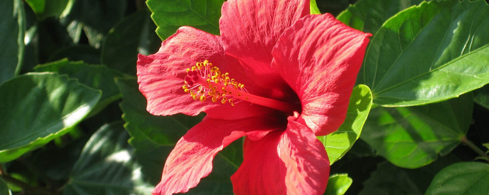 Hibiscus Tea Benefits Your Body Will Love Recipe Inside