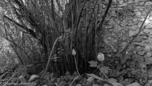 Black and white with yellow filter image of flowers in back garden