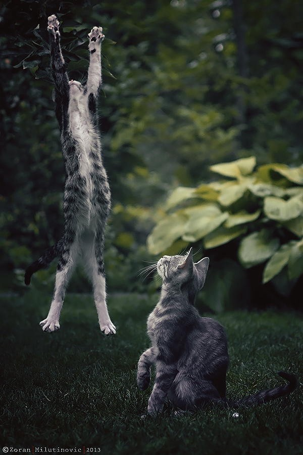 A cat jumping vertically with all his might and another cat watching it