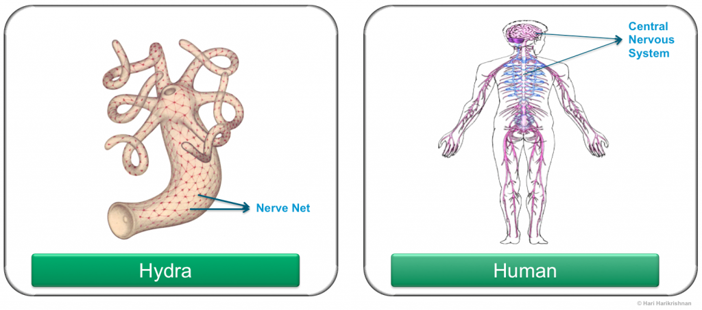 Nervous system: hydra to human