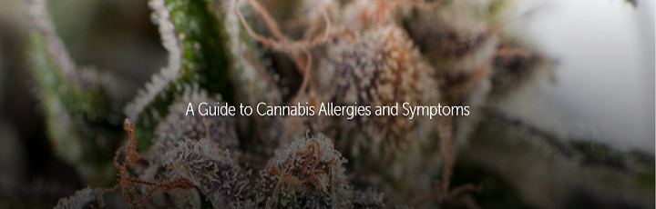 cannabis allergies