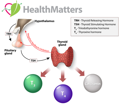 What does the Thyroid Gland do? Hormones+Functions+Disorders