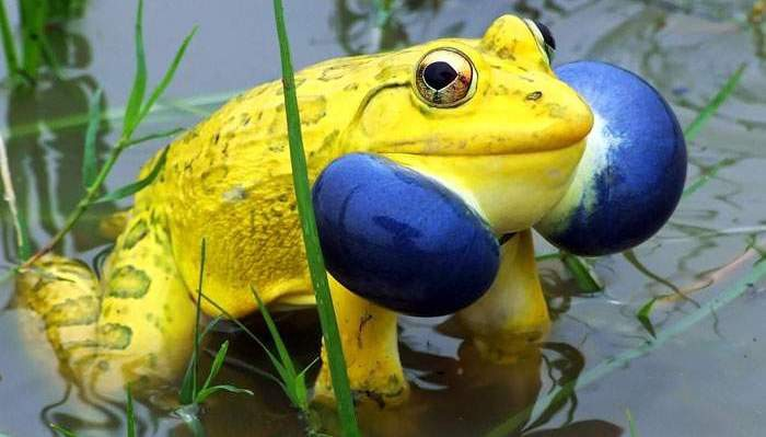 The 16 most beautiful animals in the world phaylen fairchild medium indian bullfrog voltagebd