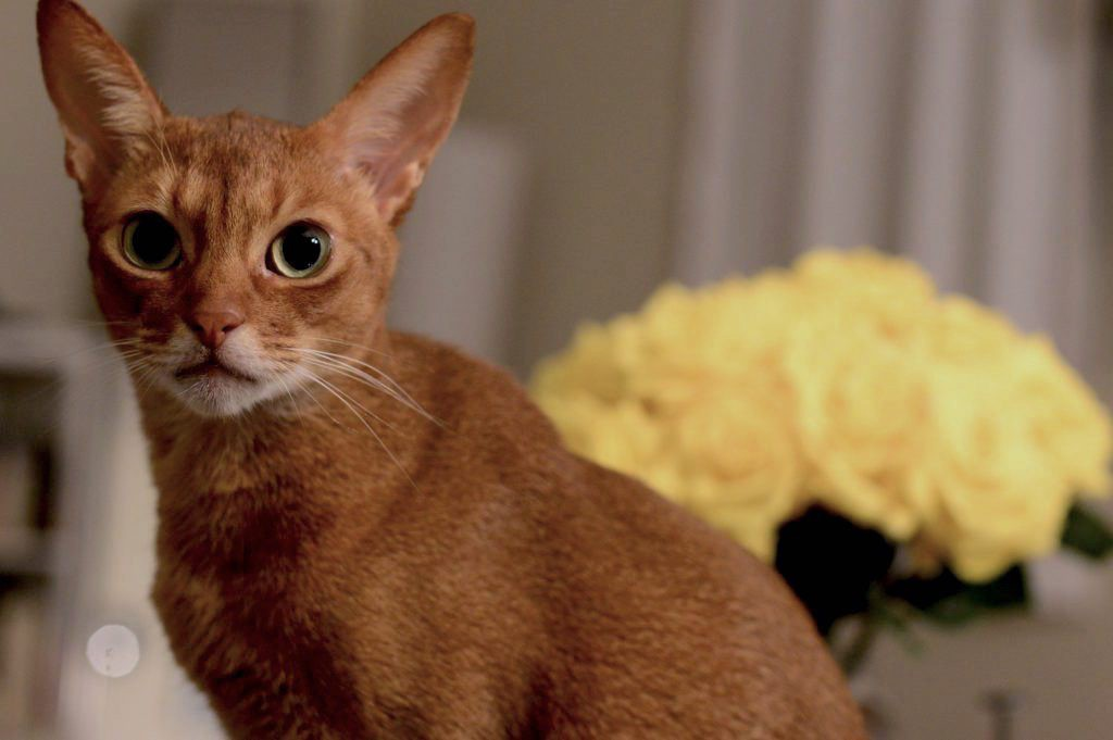 Abyssinian Johnny on his 4th birthday with his yellow roses behind