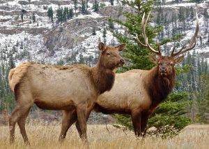 Elk cow and bull