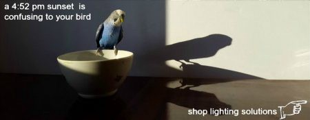 Budgie perching on ceramic bowl at sunset looking as shadow of self on wall