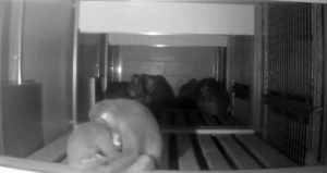 A night time shot of sleeping macaques