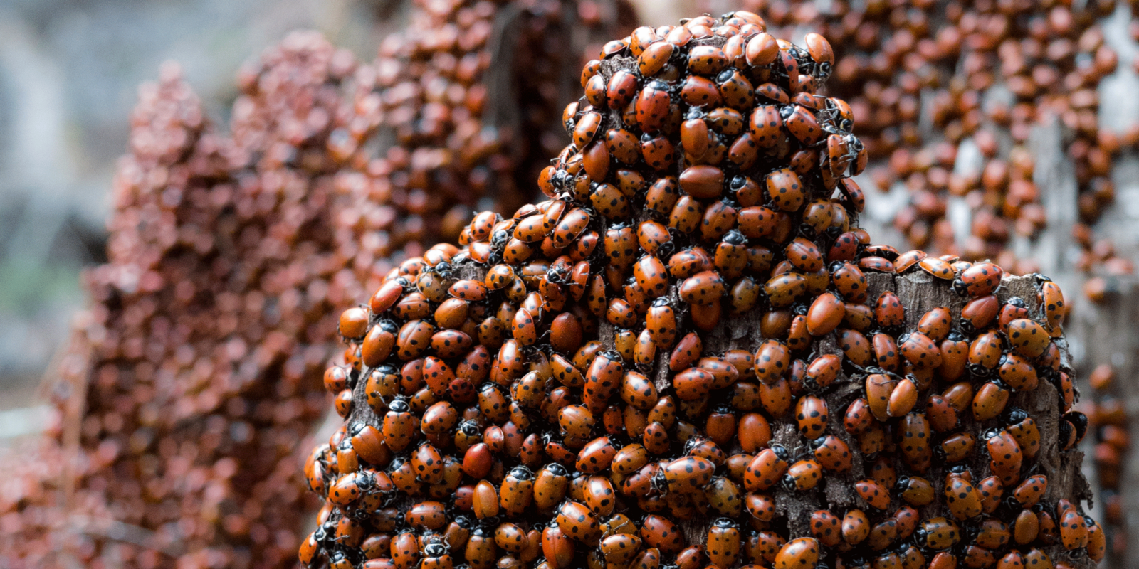 Millions Of Ladybugs Converge In Oakland Redwoods The