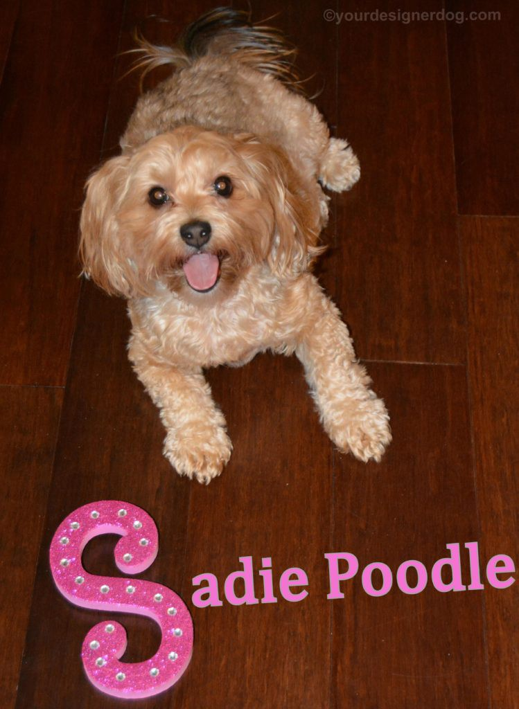dogs, designer dogs, Yorkipoo, yorkie poo, name, nickname, tongue out, dog smiling