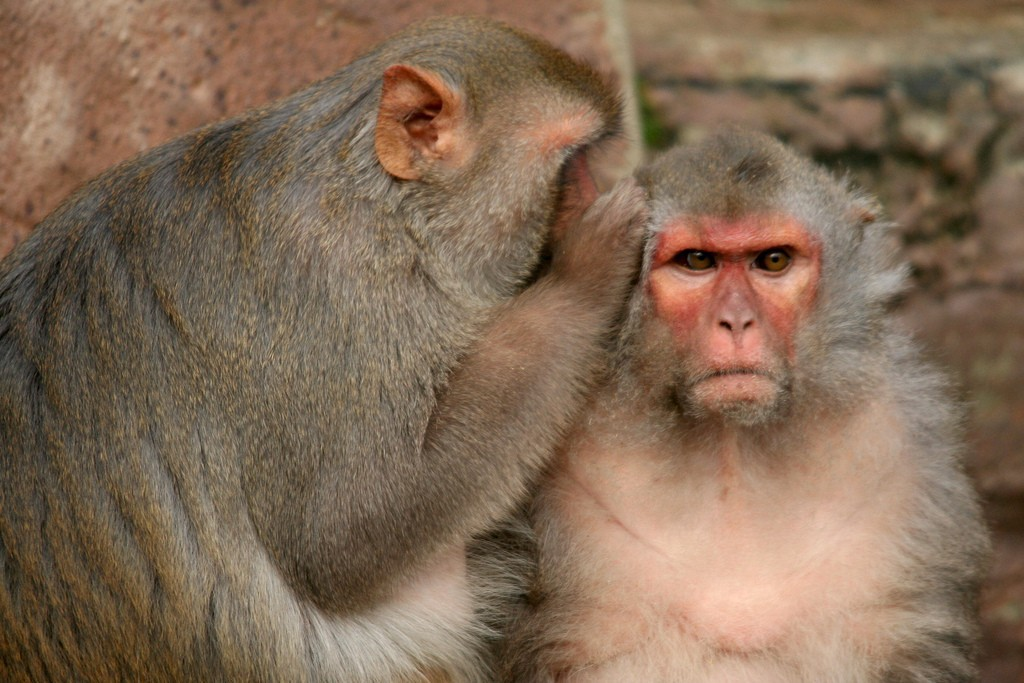 Photograph: Monkey seems to whisper into the ear of another monkey.