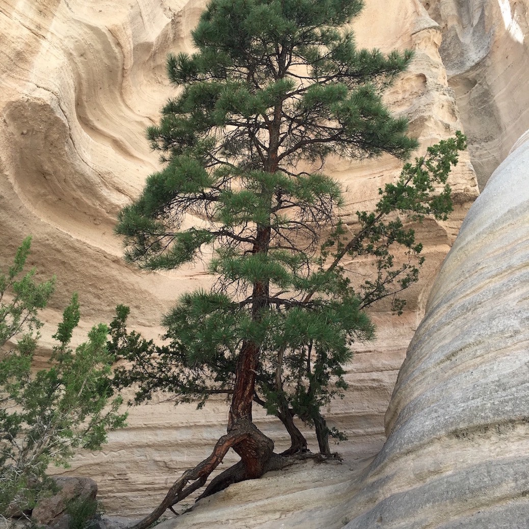 Tree at Tent Rock