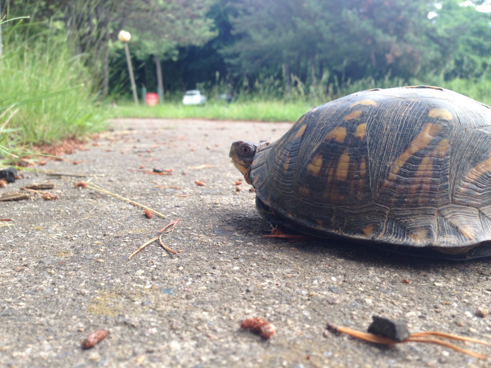 Turtles are crossing the road fish and wildlife service news photo eastern box turtle by danielle brigida usfws sciox Image collections