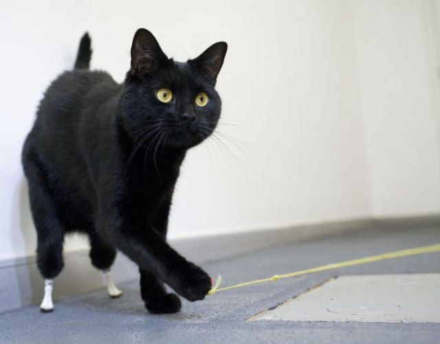 Oscar the black cat with two prosthetic legs