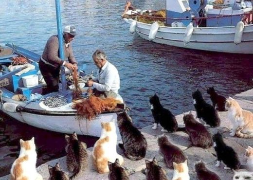 Dozens of cats are looking at what fishermen are doing with great anticipation at the bay