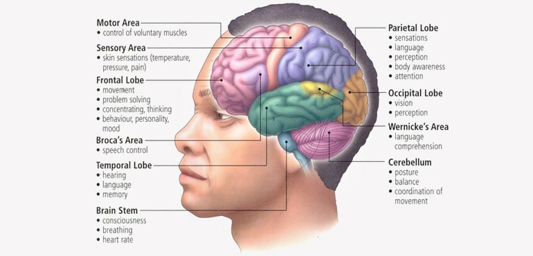 basic-structure-and-function-of-human-brain-min