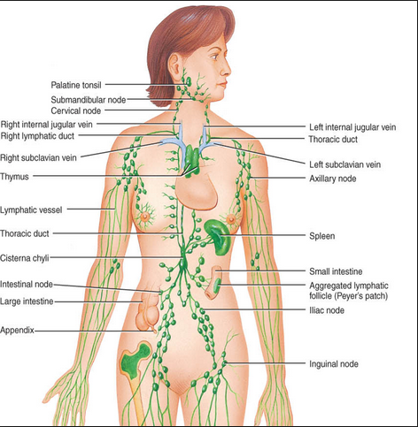in the mood to learn: the lymphatic system & yoga – renee greiner, Human Body