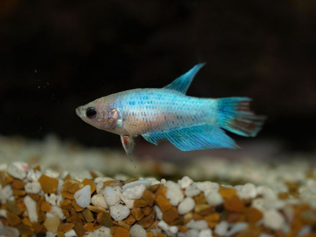 The top 5 fish for your grove aquarium the grove blog for Fish that get along with betta