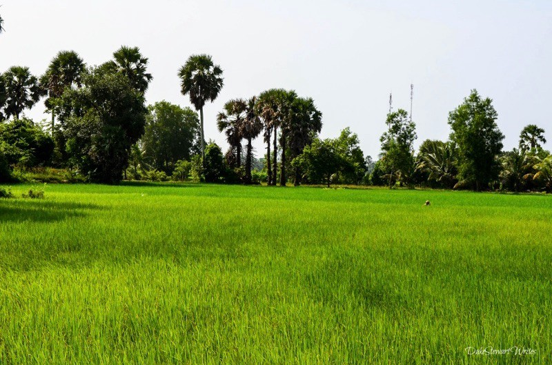 cambodian-rice-field-with-person-working-it
