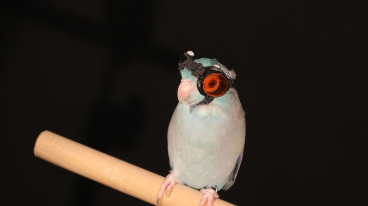 Bird with laser goggles img 9648.0