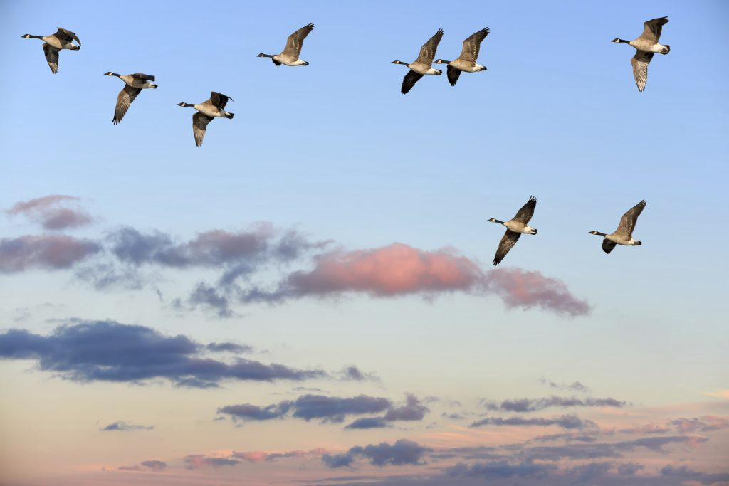 Flock of Canada Geese flying over a sunset sky
