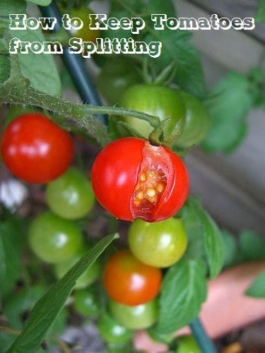 How to Keep Tomatoes from Splitting