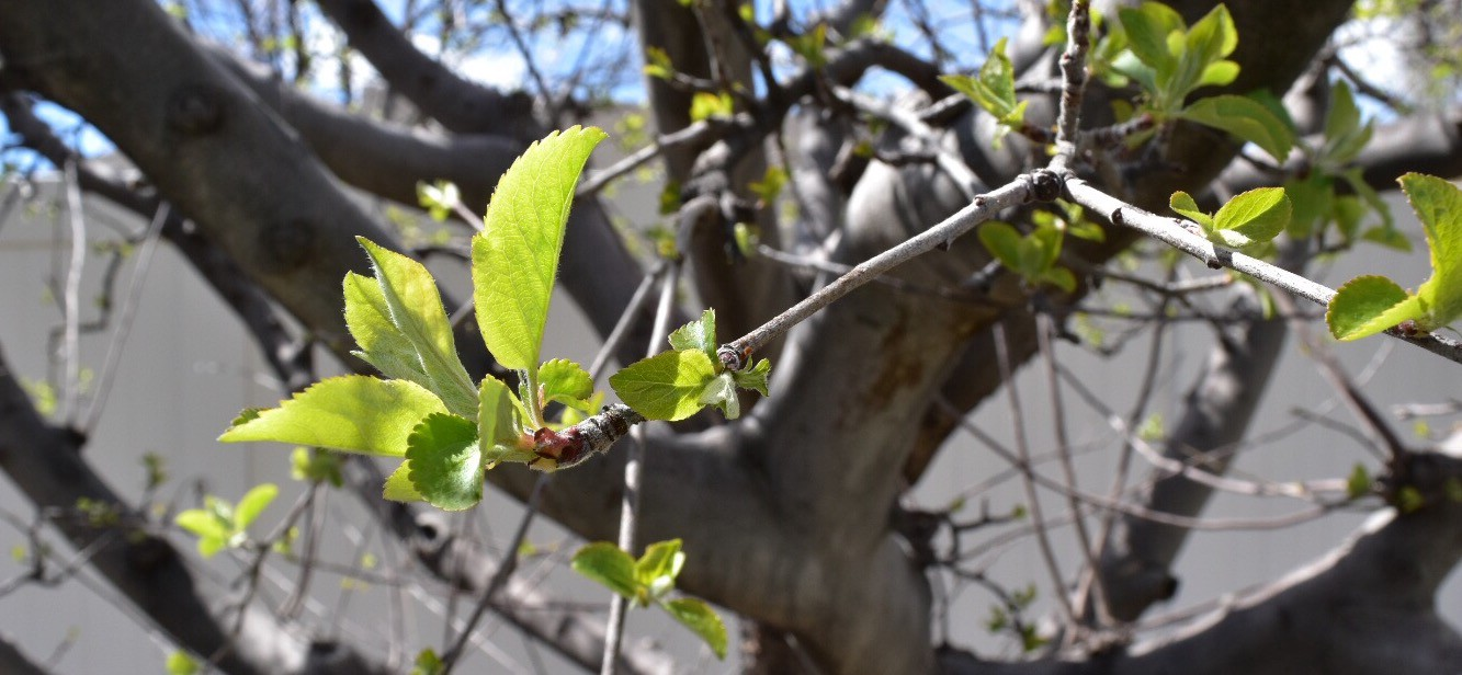 Pruning Cherry Trees Pictures