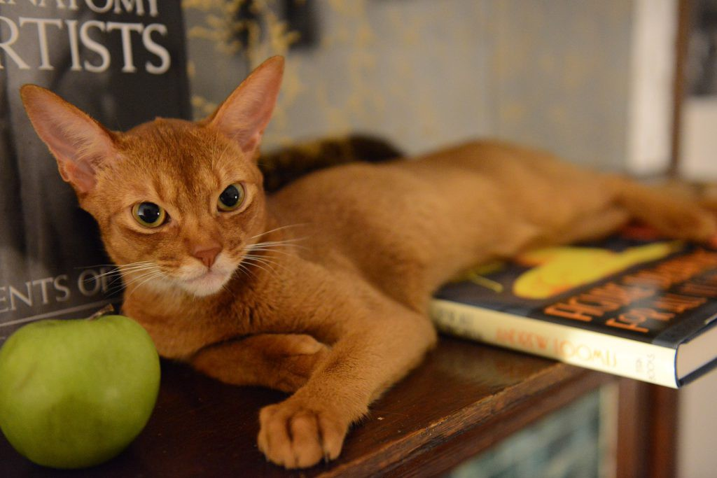 Abyssinian Johnny laying down on a book