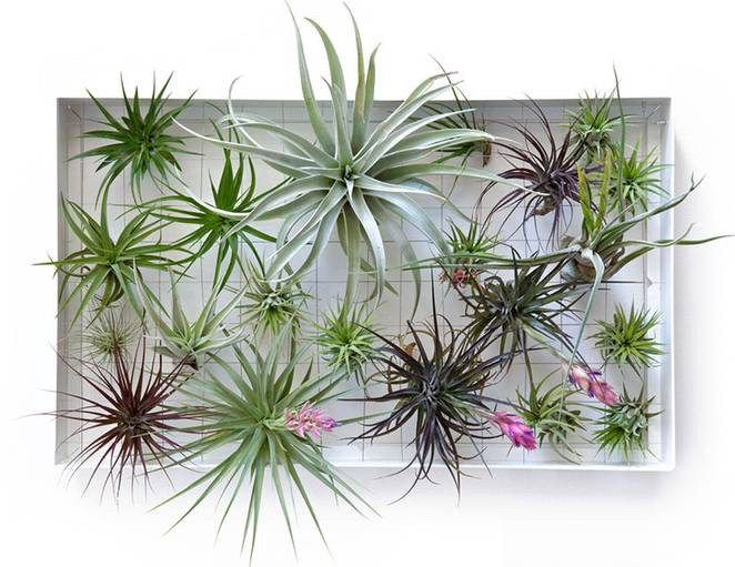 air plants on the wall