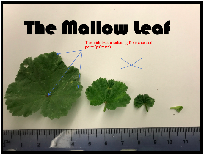 Common Mallow The Most EROTIC Edible Weed in Your Yard