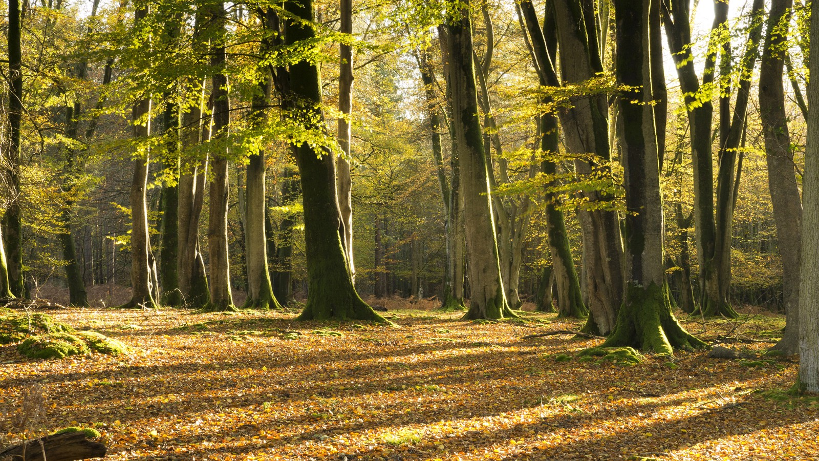 Beech tree forest, Hampshire, UK