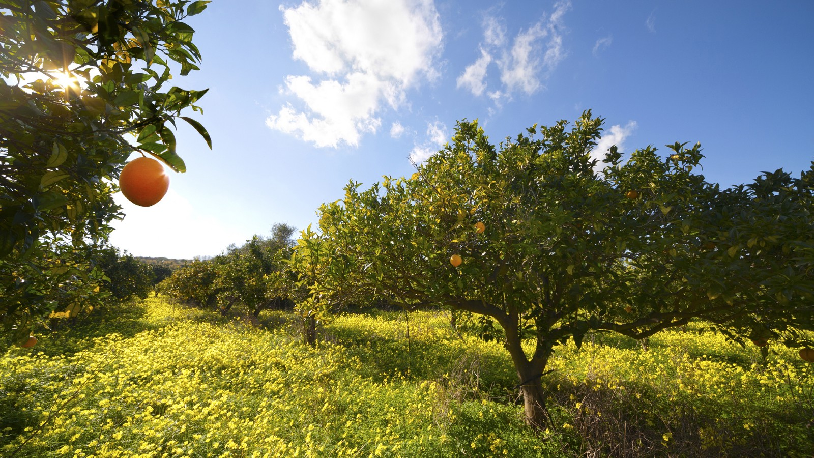Orange grove in Sicily, Italy