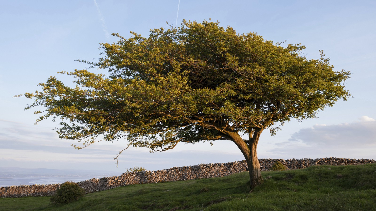 Hawthorn tree, English Lake District, UK