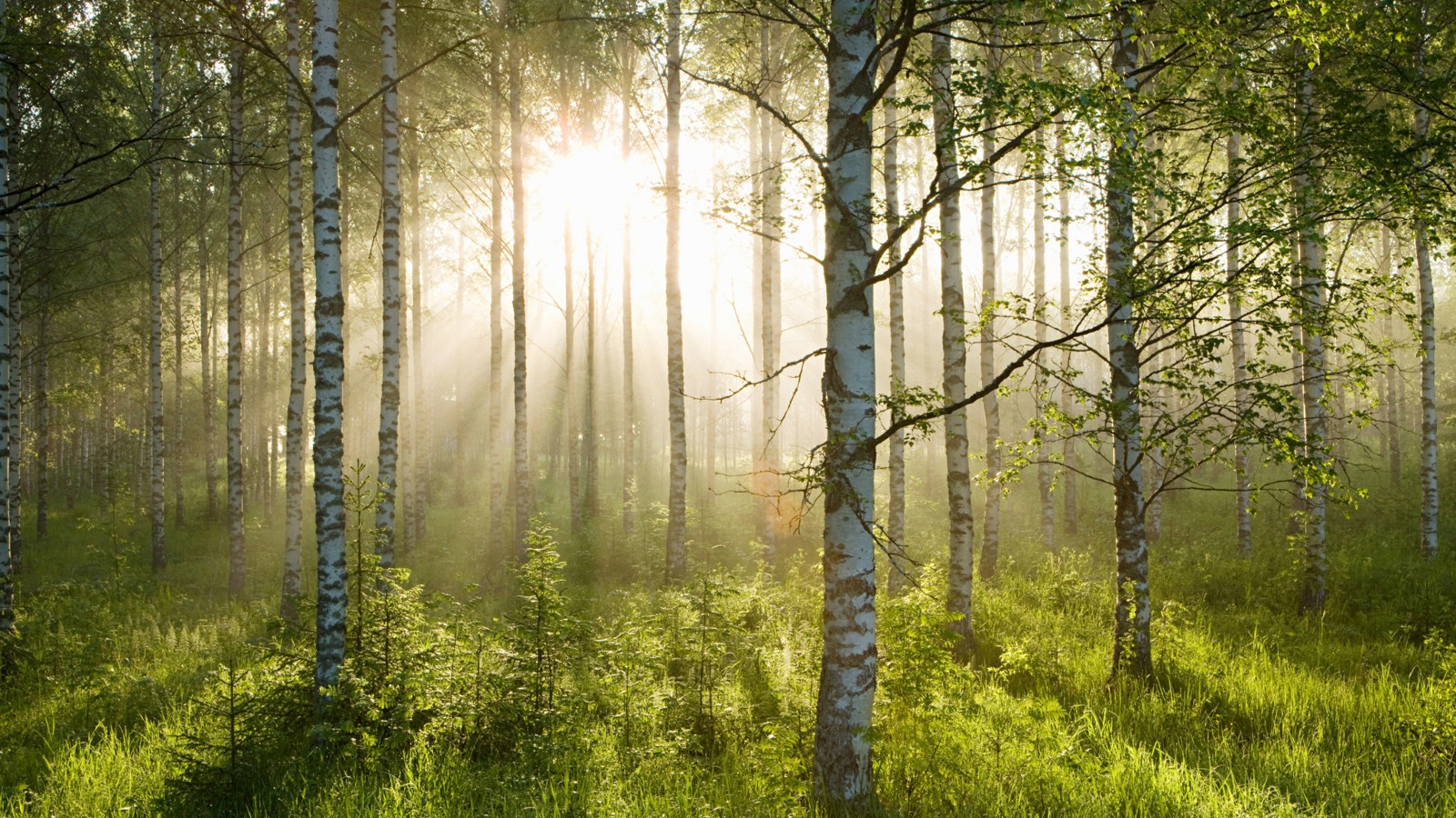 Sunlight in a forest of birch trees